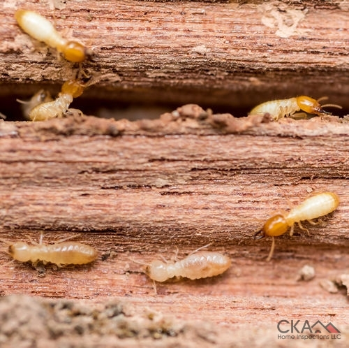 Termites cause serious damage to the wood in homes.